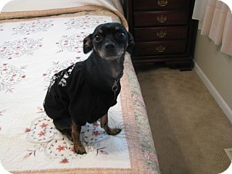 Miniature Pinscher/Chihuahua Mix Dog for adoption in Nashville, Tennessee - Bo