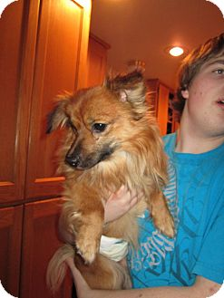 Pomeranian Mix Dog for adoption in Bellingham, Washington - Smoke