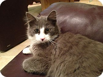 Domestic Shorthair Cat for adoption in East Hanover, New Jersey - Clyde