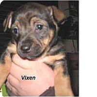 Adopt A Pet :: Vixen - Scottsdale, AZ