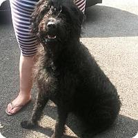 Adopt A Pet :: Ox - Brewster, NY
