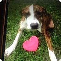 Labrador Retriever Mix Dog for adoption in Wauchula, Florida - Emma