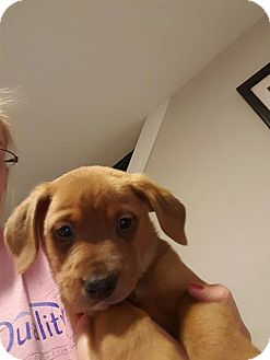 Terrier (Unknown Type, Medium) Mix Puppy for adoption in WESTMINSTER, Maryland - Wishbone