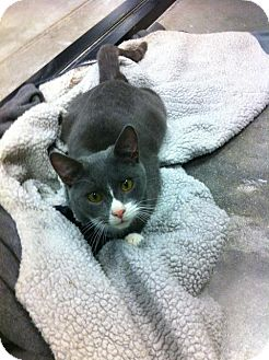 Domestic Shorthair Kitten for adoption in Pittstown, New Jersey - Gabe