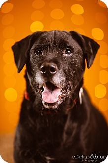 German Wirehaired Pointer/Labrador Retriever Mix Dog for adoption in Portland, Oregon - Little
