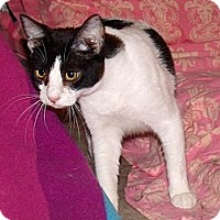 Domestic Shorthair Cat for adoption in Scottsdale, Arizona - Mr. Kotter