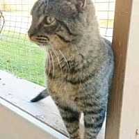 Domestic Shorthair Cat for adoption in Prestonsburg, Kentucky - posh