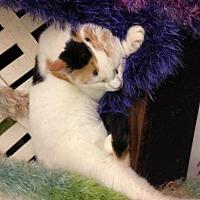 Calico Cat for adoption in Fresno, California - Tetley