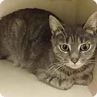 Domestic Shorthair Cat for adoption in Westbury, New York - Skylar