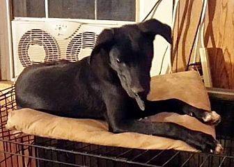 Labrador Retriever/Coonhound Mix Dog for adoption in Laconia, Indiana - Stuey