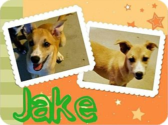 Australian Shepherd/Basenji Mix Puppy for adoption in Bryan, Texas - Jake