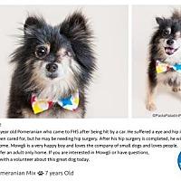 Pomeranian Dog for adoption in Pompano Beach, Florida - Mowgli