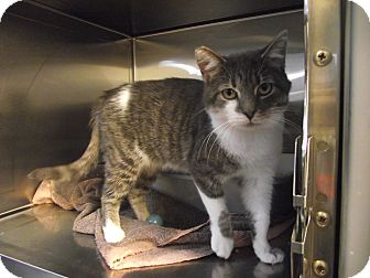 Domestic Shorthair Cat for adoption in Chambersburg, Pennsylvania - Alice