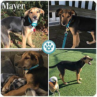 Shepherd (Unknown Type)/Labrador Retriever Mix Puppy for adoption in Kimberton, Pennsylvania - Mayer