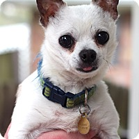 Chihuahua Mix Dog for adoption in College Station, Texas - Peter Pan (7 pounds)