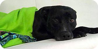 Labrador Retriever Mix Dog for adoption in Brunswick, Ohio - Blackjack