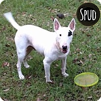 Adopt A Pet :: Spud - Lake Worth, FL
