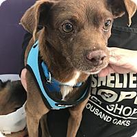 Adopt A Pet :: Banjo - Thousand Oaks, CA