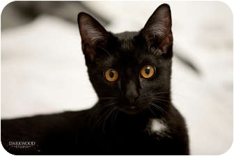 Domestic Shorthair Kitten for adoption in St. Louis, Missouri - Molly