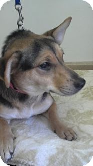 Corgi Mix Dog for adoption in Waldorf, Maryland - Mia #383