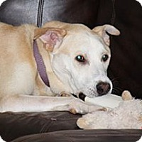Labrador Retriever Mix Dog for adoption in Arden, North Carolina - Duncan