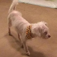 Chihuahua Mix Dog for adoption in Homer Glen, Illinois - Snowy