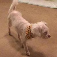 Adopt A Pet :: Snowy - Homer Glen, IL
