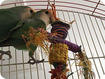 Lovebird for adoption in Punta Gorda, Florida - Lovebird pair