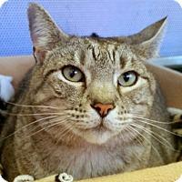 Adopt A Pet :: baby Bella - Sarasota, FL