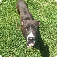 Adopt A Pet :: Louie - Hammond, LA