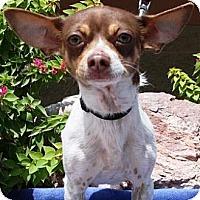 Adopt A Pet :: Marcus - Gilbert, AZ