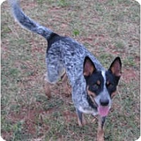 Adopt A Pet :: Rowdy - Siler City, NC