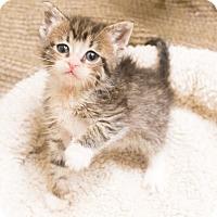 Adopt A Pet :: Inspector Gadget - Chicago, IL