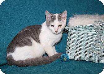 Domestic Shorthair Kitten for adoption in Marietta, Ohio - Karl (Neutered)