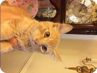 Domestic Mediumhair Cat for adoption in Stafford, Virginia - Ford