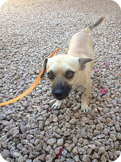 Chihuahua/Pug Mix Dog for adoption in Phoenix, Arizona - Scooter