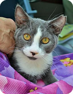 Domestic Shorthair Cat for adoption in Lake Worth, Florida - Louie