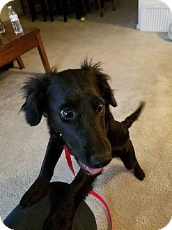 Dachshund/Pomeranian Mix Puppy for adoption in Fredericksburg, Virginia - Akino