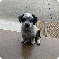 Adopt A Pet :: Dak - Frederick, MD