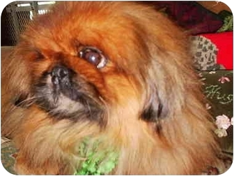 Pekingese Dog for adoption in Edmeston, New York - Toby-NY