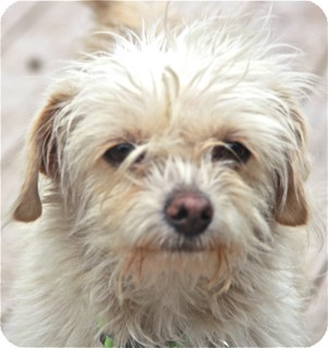 Poodle (Miniature)/Maltese Mix Dog for adoption in Norwalk, Connecticut - Kiki - adoption pending