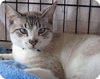 Snowshoe Cat for adoption in Seminole, Florida - Lynx