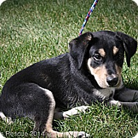 Adopt A Pet :: Chips - Broomfield, CO