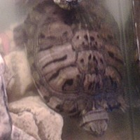 Turtle - Water for adoption in Benton, Pennsylvania - Matilda