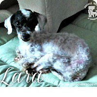 Adopt A Pet :: Lara - Essex Junction, VT