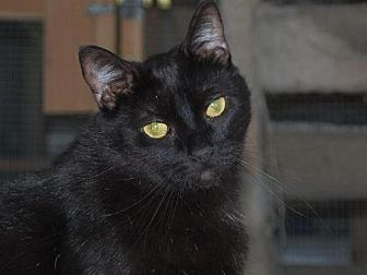 Domestic Shorthair Cat for adoption in Midway City, California - Diego