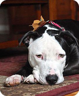 Pit Bull Terrier Mix Dog for adoption in Charlotte, North Carolina - Sasha
