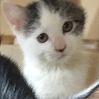 Domestic Shorthair Kitten for adoption in Bronx, New York - Poppy
