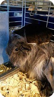 Guinea Pig for adoption in Simcoe, Ontario - Giniver