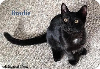 Domestic Shorthair Kitten for adoption in Huntsville, Ontario - Brodie - Adopted December 2016